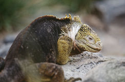 Ecuador Galapagos Islands Land Iguana resting on rock Royalty Free Stock Images