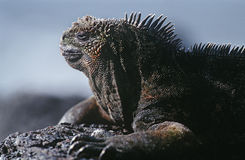 Ecuador Galapagos Islands Marine Iguana resting on rock close up Stock Images