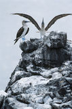 Ecuador Galapagos Islands two Blue-footed Boobys on top of rock Royalty Free Stock Images