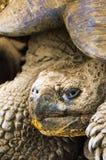 ecuador galapagos jätte- ösköldpadda Royaltyfri Foto
