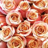Ecuador rosa rosa persikarodnad Royaltyfri Fotografi