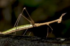 ecuador walkingstick Arkivbilder