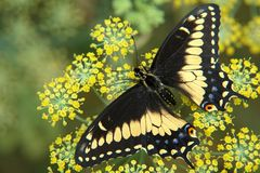 The ecuadorian butterfly sitting on flower Royalty Free Stock Image