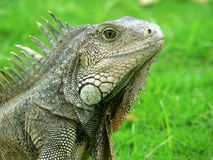 Ecuadorian iguana. Ecuadorian iguana, taken in the city of Guaquil stock image