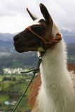 Ecuadorian lama is attending. Ecuadorian lama is listening with attention in Otavalo with green valle and mountains in clouds behind Royalty Free Stock Images