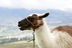 Ecuadorian lama. Muzzle of the llama on de-focused rural background Royalty Free Stock Images