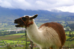 Ecuadorian lama in Otavalo. With green valle and mountains in clouds behind Royalty Free Stock Images