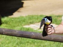 Ecuadorian rain forest toucan on a woman's hand Royalty Free Stock Photo