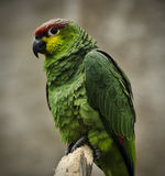 Ecuadorian Red Lored Amazon Royalty Free Stock Images