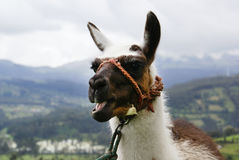 Ecuadorian smiling lama. Muzzle of the smiling llama on de-focused rural background Stock Photos