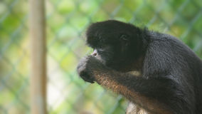 Ecuadorian Spider Monkey eating. Common names: Mono arana, maquisapa. Stock Images