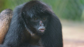Ecuadorian Spider Monkey portrait. Common names: Mono arana, maquisapa. Royalty Free Stock Photo