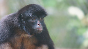 Ecuadorian Spider Monkey portrait. Common names: Mono arana, maquisapa. Stock Photos