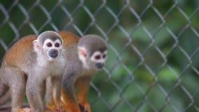 Ecuadorian squirrel monkey. Common names: Warisa, Barizo, Mono ardilla ecuatoriano. Stock Image
