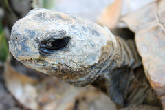 Ecuadorian Turttle. This is a native animal of Ecuador. This photo have a intense face expresion Stock Photos