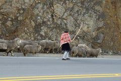 Ecuatoriaanse etnische vrouw met inheemse kleren die met een troep van sheeps in Zumbahua-dorp shepherding Stock Foto