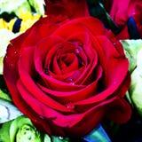 Ecuatorianas de Rosas Imagen de archivo libre de regalías