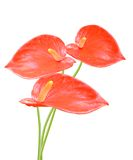 Ed anthurium flowers isolated Royalty Free Stock Photos
