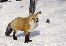 Ed fox Stock Photos
