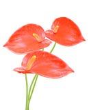 ED-geïsoleerde anthuriumbloemen Royalty-vrije Stock Foto's