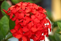 Tunning red hydrangea flowers in the garden stock photography