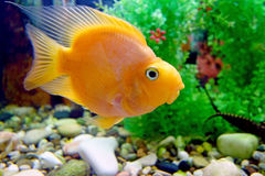 Кed parrot (cichlid) Stock Photos