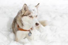 Edad de la curiosidad 2 de Husky Dog que hace muecas Imagen de archivo libre de regalías