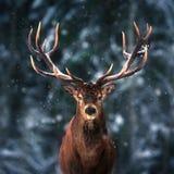 Edel hertenmannetje in het bos Vierkante beeld van de de wintersneeuw stock afbeeldingen