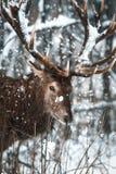 Edel hertenmannetje in het landschap van de winterkerstmis van de de wintersneeuw bos Artistieke De wintersprookjesland royalty-vrije stock foto