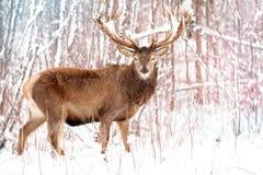 Edel rood hertenmannetje tegen het landschap van de Winterkerstmis van de de wintersneeuw bos stock fotografie