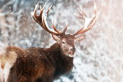 Edel rood hertenmannetje tegen het sprookjesland van de Winterkerstmis van de de wintersneeuw bos stock foto's