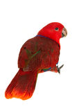 Edele papegaai op wit Stock Foto