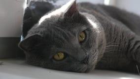 Edele trotse kat die op venstervensterbank liggen Britse Shorthair met blauw grijs bont stock footage
