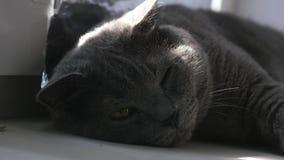 Edele trotse kat die op venstervensterbank liggen Britse Shorthair met blauw grijs bont stock videobeelden