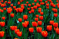 Edele tulpen Dow jones Royalty-vrije Stock Foto's
