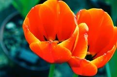 Edele tulpen Dow jones stock foto's