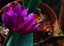 Edele tulpen Purpere prins Royalty-vrije Stock Afbeeldingen