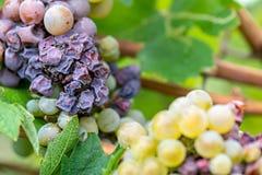 Edele verrotting van een wijndruif, druiven met vorm royalty-vrije stock fotografie