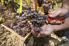 Edele verrotting van een wijndruif, druiven met vorm, Botrytis stock foto's
