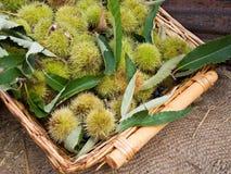 Edelkastanieernte, im Korb mit Blättern Stockbild
