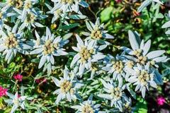 Edelvais lat alpino ou do Leontopodium Leontopodium Fotos de Stock Royalty Free