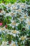 Edelvais lat alpino ou do Leontopodium Leontopodium Foto de Stock