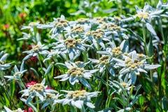 Edelvais lat alpino ou do Leontopodium Leontopodium Fotos de Stock