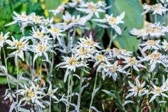 Edelvais lat alpino ou do Leontopodium Leontopodium Imagem de Stock Royalty Free