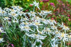 Edelvais lat alpino ou do Leontopodium Leontopodium Foto de Stock Royalty Free