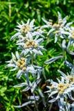 Edelvais lat alpino ou do Leontopodium Leontopodium Imagens de Stock Royalty Free