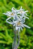 Edelvais lat alpino ou do Leontopodium Leontopodium Imagem de Stock
