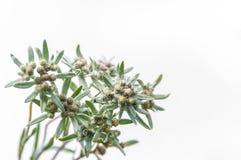 Edelweißblumenblumenstrauß Stockfotos