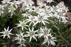 Edelweißblumennahaufnahme, alpine Edelweißblumen stockfotografie