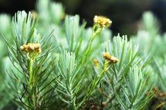 Edelweis är en blomma som får en smeknamn` ` för evig blomma, arkivfoto